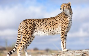 1f86b6cc_Majestic-Cheetah-gatto