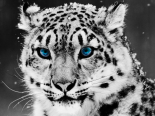 Snow-Leopard-Blue-Eyes-Wallpapers.png