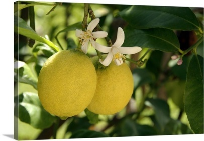 flowers-and-fruit-on-lemon-tree-citrus-limon,1106547