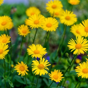 many_yellow_flowers_515192
