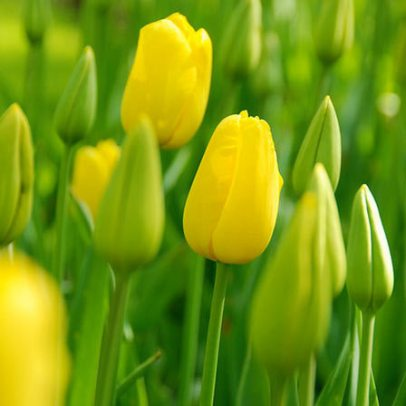 yellow-tulips-images
